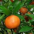 آغاز برداشت ارقام نارنگی زودرس از باغات مرکبات مازندران