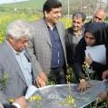 بازدید معاون وزیر جهاد کشاورزی از مزارع کشت کلزا در نکا/تصویر