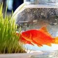 """پیشنهاد """"نیکا خبر""""به شهرداری نکا/جشنواره رهاسازی ماهی قرمز نوروزی برگزار کنید"""