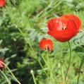 گلهای شقایق وحشی درنکا /عکس خانم حسینی