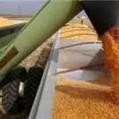 مدیرجهادکشاورزی نکا:کشاورزان از تحویل گندم به دلالان خود داری کنند