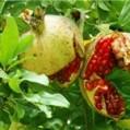 ششمین جشنواره ' انار اشرف' از ۲ تا ۶ آبان ماه در شهرستان بهشهر برگزار است