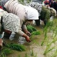 کشت برنج در ۶۵۰ هکتار از شالیزارهای نکا