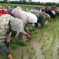 کشت مجدد و پرورش رتون در ۴۰۰ هکتار از شالیزارهای نکا