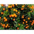 تولید ۵۰ هزار تن پرتقال درباغ های مرکبات نکا