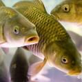 رونق مراکز پرورش ماهی در شهرستان نکا