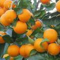 پیش بینی تولید ۵۰ هزارتن پرتقال در نکا