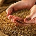 توزیع ۷۰ تن بذر برنج میان شالیکاران نکایی