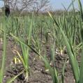 گزارش کاشت سبزی توسط بانوان نکا